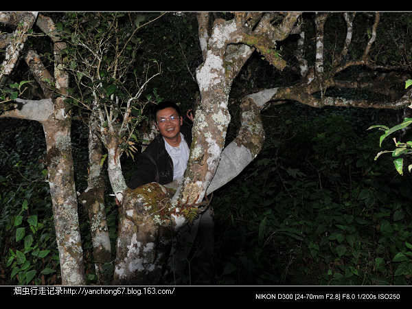 养在深闺人未识——帕沙古茶山(图文) - 烟虫 - 西双版纳烟虫行走记录