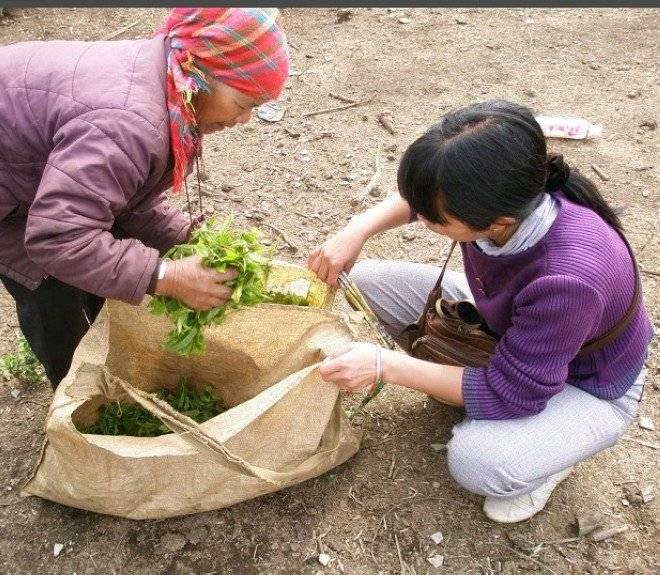 易武/2014年大滇制茶日记之25 25 易武系的茶之一...