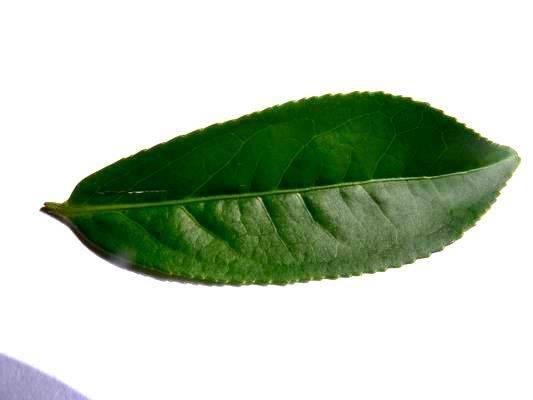 茶葉 黑白 圖片